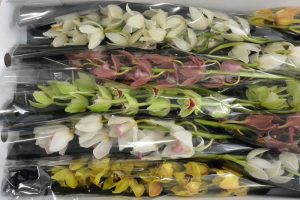 CYMBIDIUM MIX x10