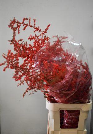ASPARAGUS RED