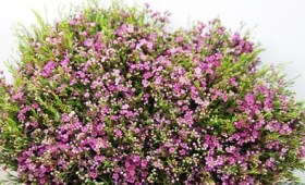 Waxflowers Purple Pride