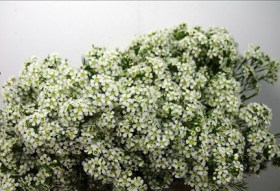 Waxflowers Ofir